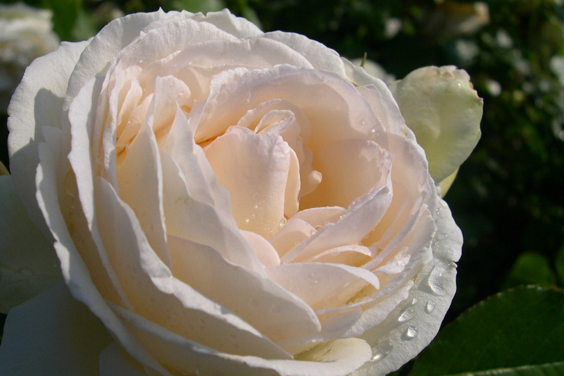Blushing Pierre de Ronsard - Corporate Roses