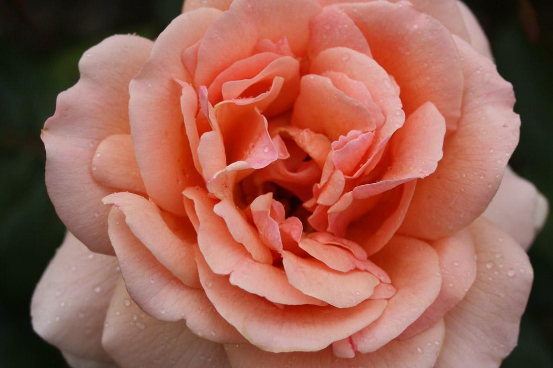 Breathe Easy - Corporate Roses