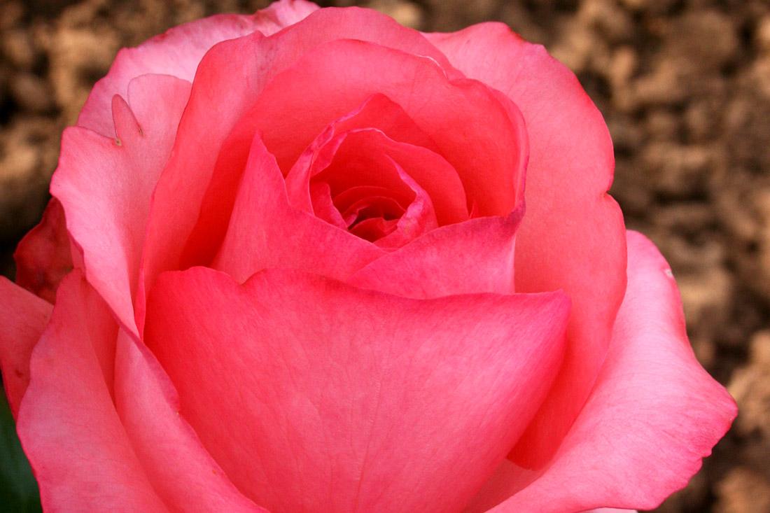 Brief Encounter - Corporate Roses