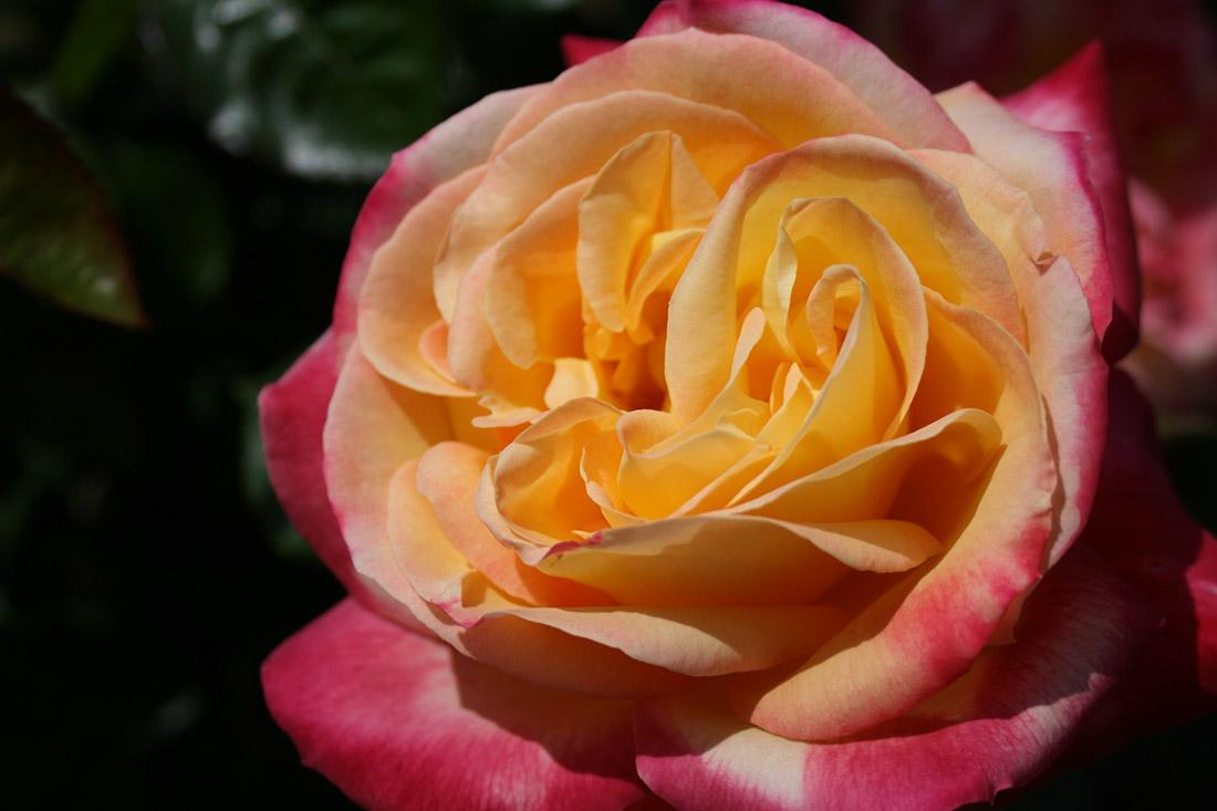 Bright Spirit - Corporate Roses