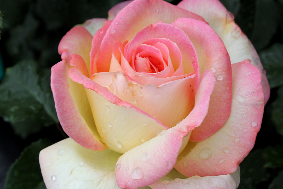 Brighter World Rose - Corporate Roses