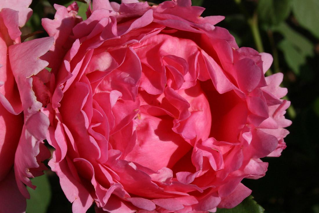 Child's Love - Corporate Roses