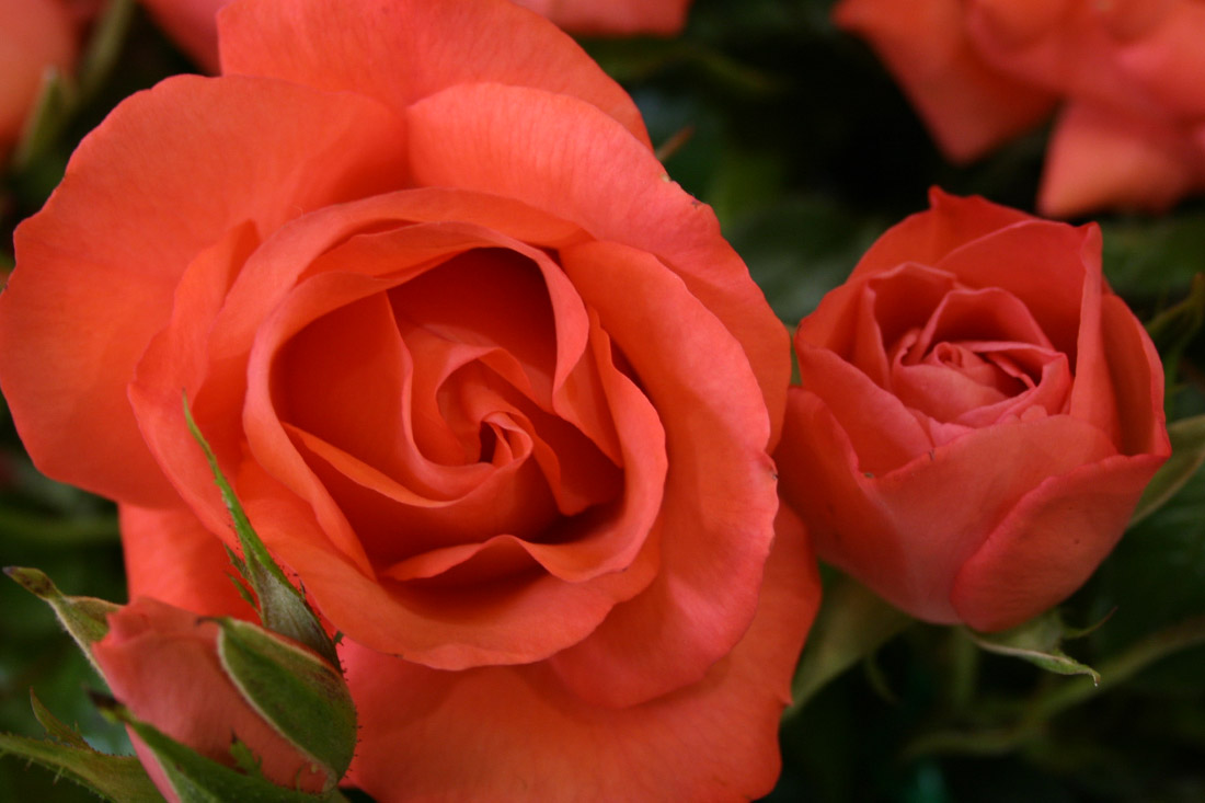 Climbing Marmalade Skies - Corporate Roses