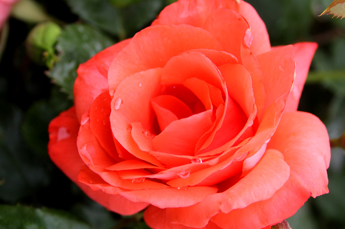 Climbing Marmalade Skies Corporate Roses