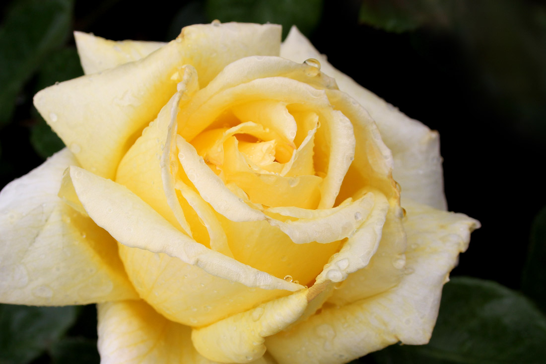 Little Ray of Sunshine - Corporate Roses