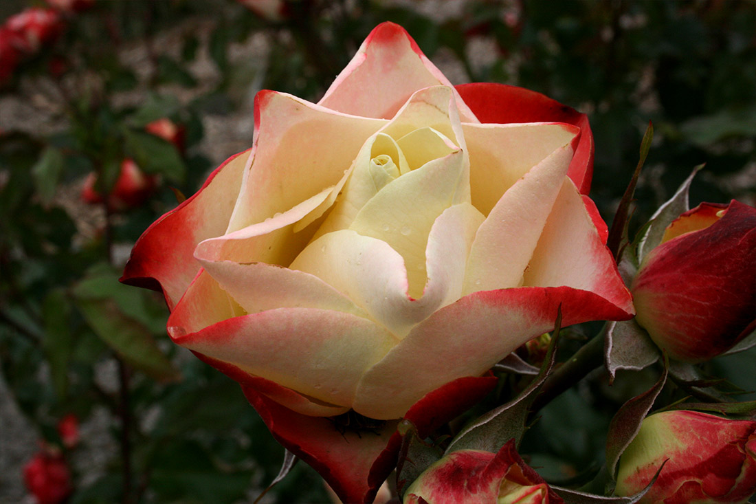 Origami Rose - Corporate Roses