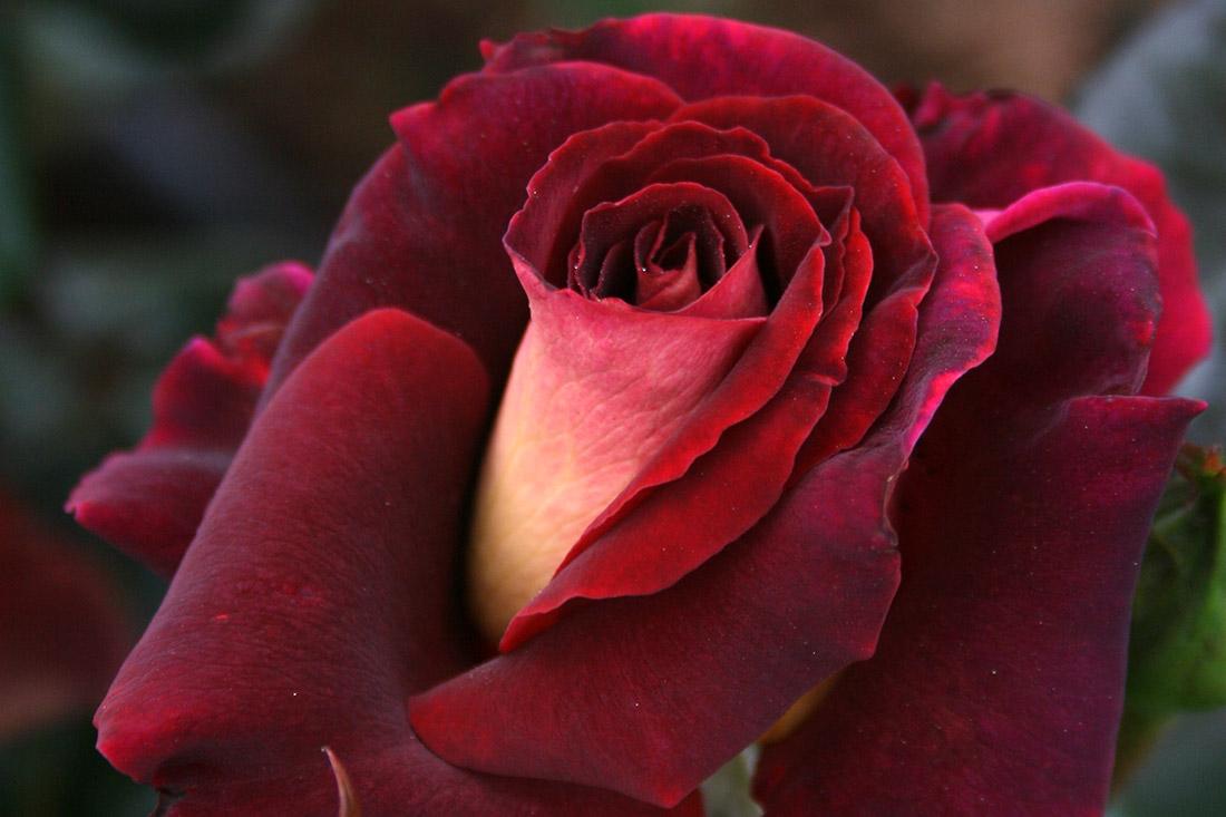 RSL Rose - Corporate Roses