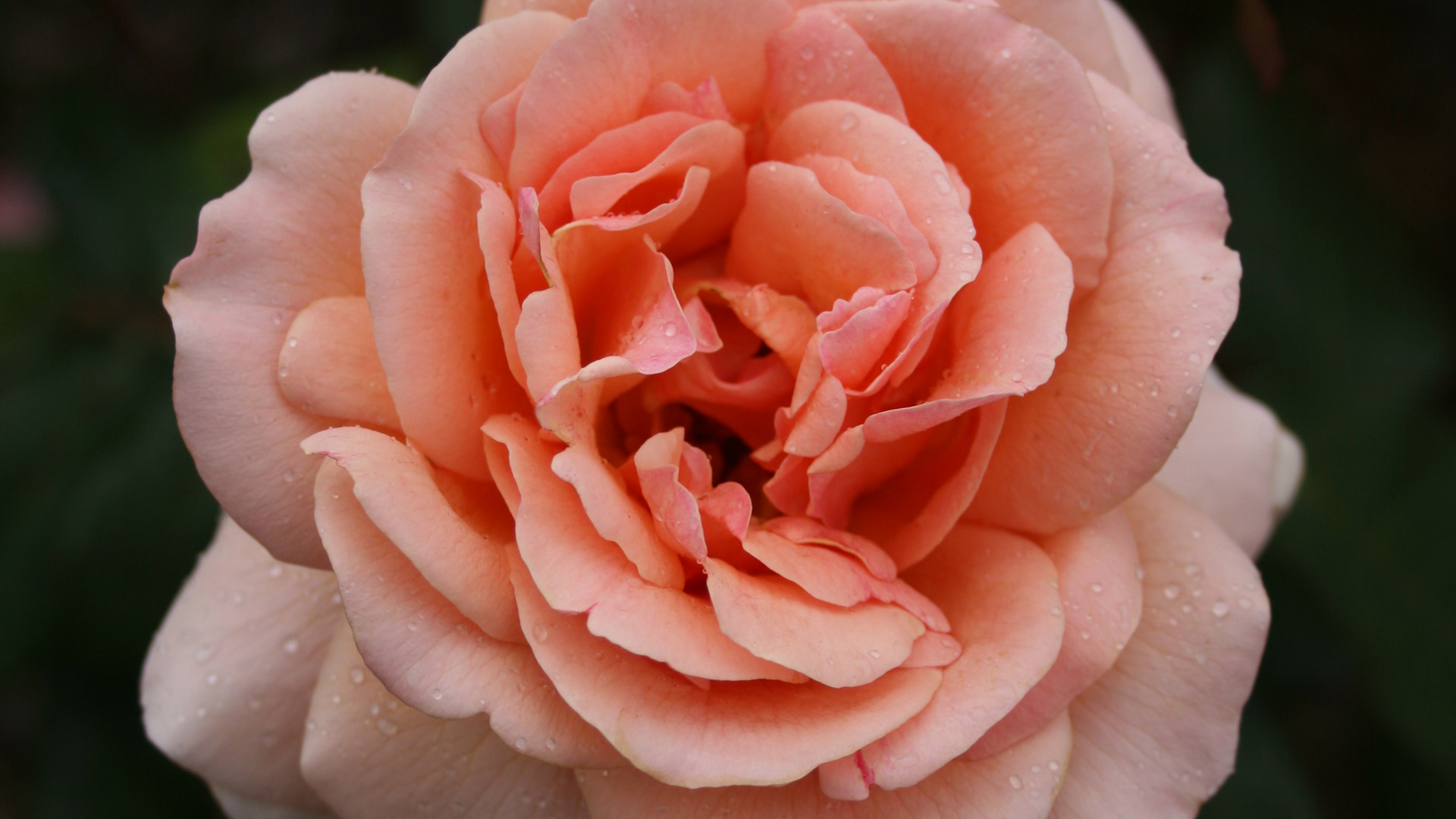 Vibrant and Confident Margaret Pratt Rose