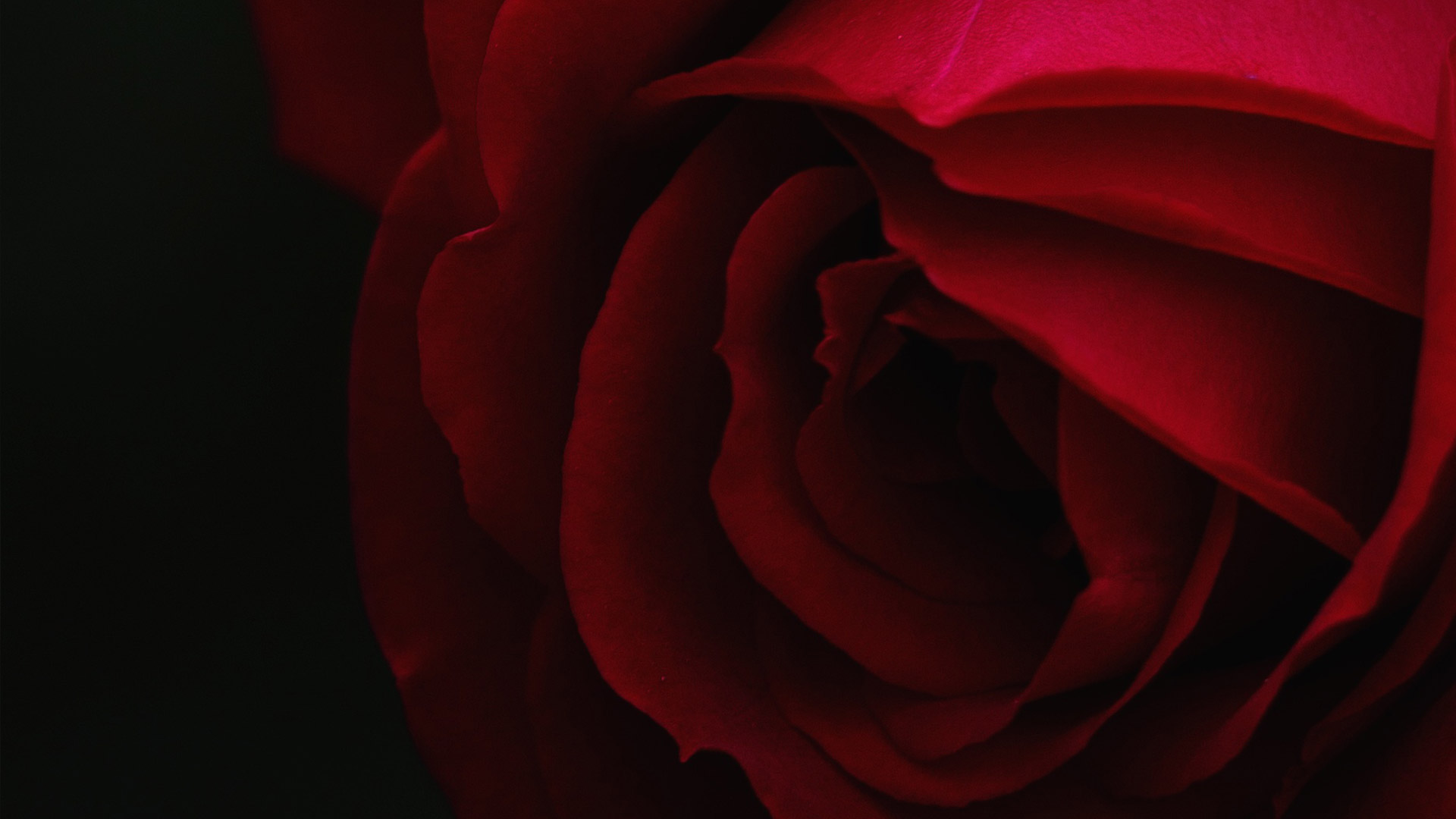 Introducing Meilland's Premier Rose Varieties