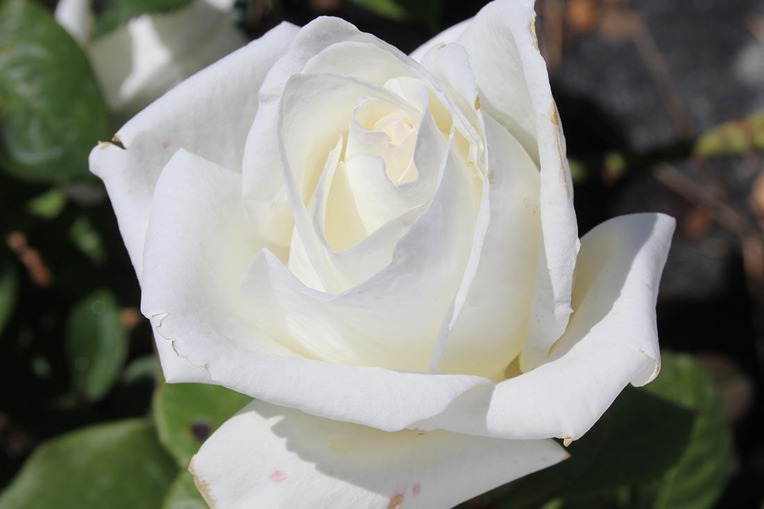 Brilliance Rose