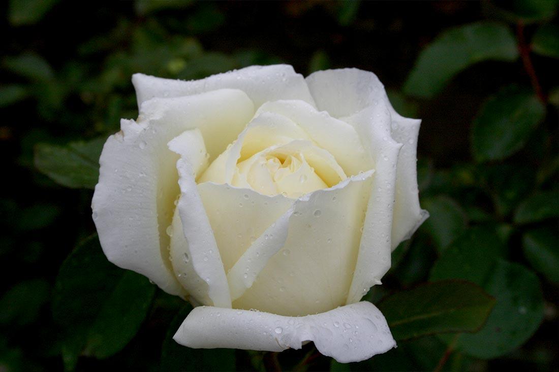National Pride Rose